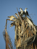 Pair of Ospreys Standing in Their Nest-In-Progress in a Treetop