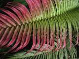 Close View of a Red-Tipped Fern Frond