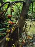 Fig Tree Loaded with Fruit near a Rushing Stream