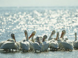 American White Pelicans on Floridas Gulf Coast