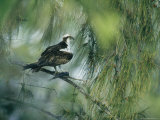Osprey with a Fish Perched in a Pine Tree