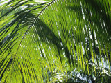 Detail of a Palm Frond