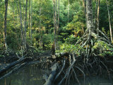 Tangles of Buttressed Mangrove Roots Streamside in a Forest