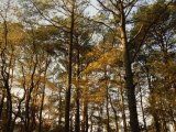 Loblolly Pines and Other Trees in a Maritime Forest