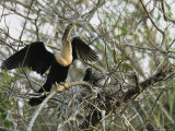 Anhinga and its Offspring in a Nest on Floridas Gulf Coast