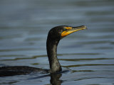 Cormorant Swims on Floridas Gulf Coast