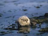 Sea Otter Floats in a Tangle of Kelp in Monterey Bay