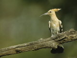 Hoopoe Perched on a Tree Branch