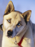 Portrait of a Blue-Eyed Husky