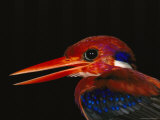 Close View of the Colorful Head of a Philippine Dwarf Kingfisher