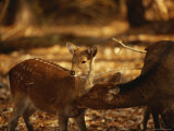 Mother and Fawn Sika Deer