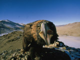 Golden Eagle Lashes Out at the Camera