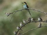 European Bee Eater Perched on a Branch with a Flock of Sparrows