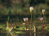 Water Lily Flower Emerging from a Pond