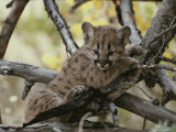 Eight-Week-Old Mountain Lion  Felis Concolor  Climbs Tree Limbs