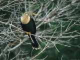 Anhinga Perches on a Tree Branch on Floridas Gulf Coast