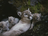 Mother Mountain Lion  Felis Concolor  Rests with her Two-Week-Olds