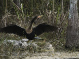 Anhinga Spreads its Wings on Floridas Gulf Coast