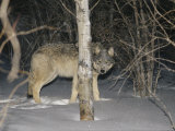 Timber Wolf Peers from Behind a Tree at Night