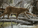 Mountain Lion Crosses a Creek on a Fallen Log