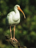 White Ibis Perches on a Tree Branch on Floridas Gulf Coast
