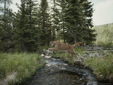 Mountain Lion Leaps across a Forest Stream