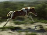 Wild Pony Foal Running