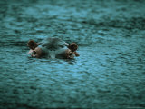 Hippopotamus Peers Out of the Water