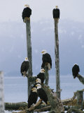 Eagles Perch on Wooden Posts