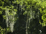 Spanish Moss Adorns a Tree in South Florida