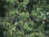 Flying Foxes Roosting in a Tree