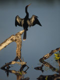 Male Anhinga Perches on a Tree Stump above a Coastal Lagoon