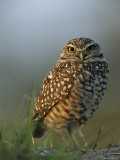 Burrowing Owl Perches on a Mound of Sand