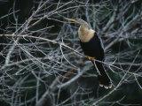 Female Anhinga Perches on a Tree Branch above a Freshwater Pond