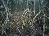 Thick Tangle of Mangrove Tree Roots