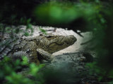 Crocodile Photographed Through Dense Foliage