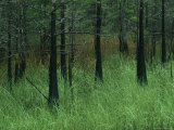 Slash Pines Grow above the Tall Grass in Floridas Freshwater Marsh