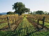 Vineyard Displays Autumn Colors