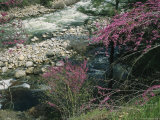 Redbud Trees in Bloom along the Banks of the Merced River