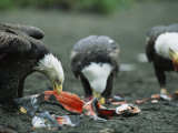 Trio of American Bald Eagles Eat Fish Carcasses