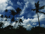Palm Trees Blowing in Tropical Breeze Against a Blue Sky with Puffy Clouds