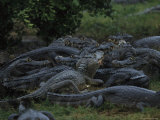 Large Cluster of Caimans in the Marshes of the Southern Pantanal