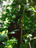 Snarling Chimpanzee Holds her Baby While Hanging from a Tree Branch