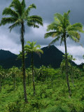 Field of Palm Trees with Volcanic Mountains in Background