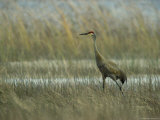 Sandhill Crane Stands Amid the Tall Grass of a Marsh