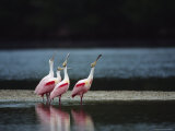Roseate Spoonbills Are Reflected in a Coastal Lagoon
