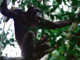 Female Chimpanzee and her Baby Perched on a Tree Branch
