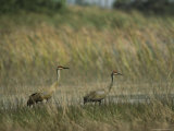 Pair of Sandhill Cranes Stand Amid the Tall Grass of a Marsh