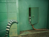 Ring Tailed Lemurs Walk Through a Small Door in a Green Room