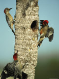 Trio of Red-Bellied Woodpeckers